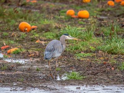 Skagit Valley Heron. 11/27/2016