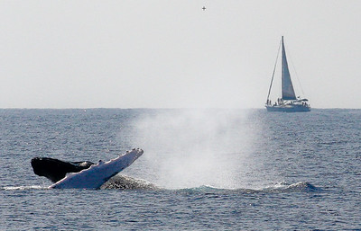 As the energy level in this competition pod increased, violent collisions between the male contenders caused the sole female to be bumped and shoved roughly as she was engaged in some pectoral fin-waving. There's no such thing as male chivalry in an energetic competition pod.  8 February 2015