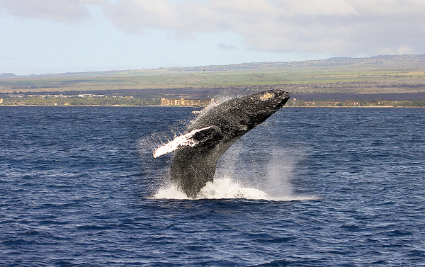 2015: Best Humpback Whale Photos