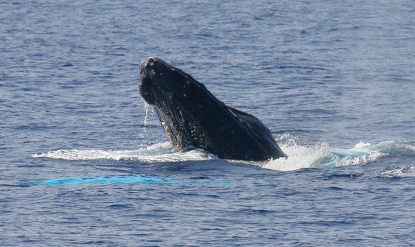 A male participant in an energetic competition pod prepares to come down hard on a competitor; the turquoise color just below the surface is the ventral aspect of the pectoral fin of the whale on the receiving end of this head lunge.  8 February 2015