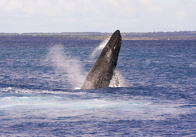 This member of a four-whale competition pod performed several repetitive breaches. Ma'alaea Bay, Maui -- 4 January 2014