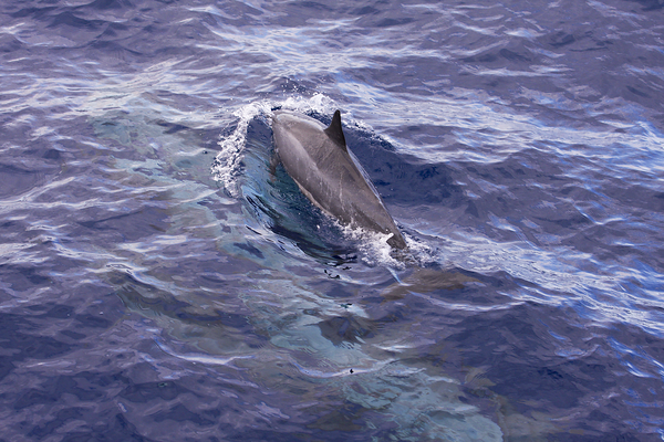 A Spinner dolphin (Stenella longirostris) rockets past the dive boat, breaking the surface just in front of the bow. Spinners and other dolphin species seem to enjoy riding the bow wakes of motor vessels in Ma'alaea Bay. Also known as Gray's or Hawaiian spinner dolphin (S. l. longirostris), from the central Pacific Ocean around Hawaii; may be a mixture of broadly similar delphinid subtypes found worldwide. Ma'alaea Bay, Maui -- 4 January 2015