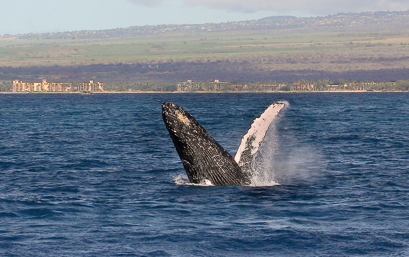 """A young adult whale performing a """"head lunge"""" shows off  his  ventral grooves (or """"pleats""""). They run from the lower jaw to the umbilicus about halfway along the underside of the whale. These grooves are less numerous (usually 14–22) than in other rorqual (""""furrowed"""" in Norwegian) whales, but they are wider. When feeding, the whale takes in large quantities of seawater and the pleats allow expansion of the mouth cavity. Note the orangish-yellow """"beard"""" of  barnacles clinging to the lower jaw. Ma'alaea Bay, Maui -- 4 January 2015"""