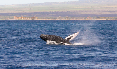 "A young adult whale performing a ""head lunge"" shows off his ventral grooves (or ""pleats""). They run from the lower jaw to the umbilicus about halfway along the underside of the whale. These grooves are less numerous (usually 14–22) than in other rorqual (""furrowed"" in Norwegian) whales, but they are wider. When feeding, the whale takes in large quantities of seawater and the pleats allow expansion of the mouth cavity. Note the orangish-yellow ""beard"" of barnacles clinging to the lower jaw. Ma'alaea Bay, Maui -- 4 January 2015"