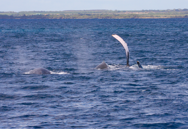 "This female (?) Humpback whale (far right) has rolled over onto her right side, exposing the tip of her left fluke (barely visible at the surface) and her very long (4 m) pectoral fin, which she waves gently as two males in her competition pod struggle for a position to get closer to her. I've always thought that this ""pec wave"" is the cetacean equivalent of a ""Hey Sailor!"" greeting. Ma'alaea Bay, Maui -- 4 January 2015"