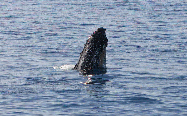 "As this mature male surfaces during a brief ""spy hop"", he displays his lower jaw covered with the numerous chalky-white rings left behind by encrusting barnacles scraped off or knocked off long ago. I've never seen so many ""barnacle rings"" on a whale!  7 February 2015"