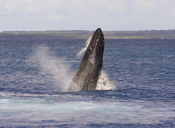 """This member of a four-whale competition pod performed several repetitive breaches. Note the many bump-like tubercles located on the upper and lower jaws. The """"blowhole"""" (AKA """"nares"""", actually TWO holes) is also visible atop the rostrum. Ma'alaea Bay, Maui -- 4 January 2015"""