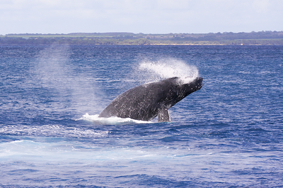 "This member of a four-whale competition pod performed several repetitive breaches. Note the spray of seawater exiting both sides of his mouth. Also note the position of his right, the ""lids"" of which are visible just to the right of the base of his right pectoral fin."