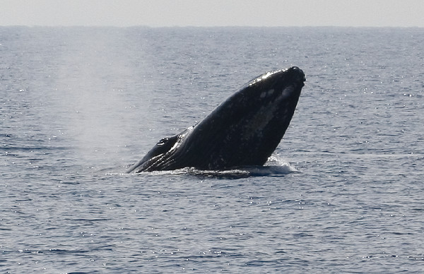 """This whale did a brief """"spy-hop"""" to reconnoiter the other members of his competition pod. In doing so, he obligingly displayed the ventral pleats (long folds of loose skin that can expand like the bellows of an accordion) of his lower jaw, as well as the prominent bulge of his right eye.  8 February 2015"""