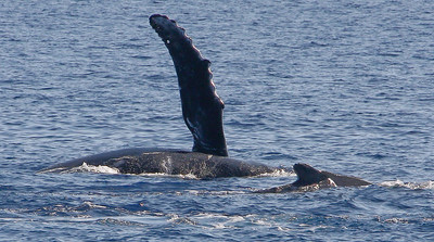 At first glance, I thought the whale nearest to the camera was a calf keeping pace with its mother. But after closely inspecting shots that followed (not shown here), it became clear that it was actually a male suitor getting close enough to the female to induce her to engage in some tummy rubbing. Her upraised pectoral fin may indicate she was amenable.  22 February 2015