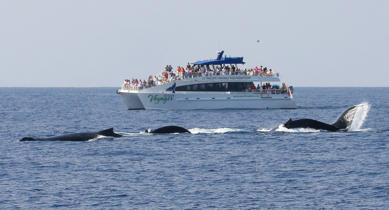 Pacific Whale Foundation's Ocean Voyager monitoring the antics of a very energetic surface-active competition pod. 8 February 2015