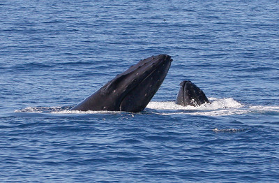 "his ""double head lunge"" was so cautious and low-key that it looked more like the two whales were sort of looking over the competition without wishing to get involved in a turf battle. It was just too nice a day for it, I guess!  7 February 2015"