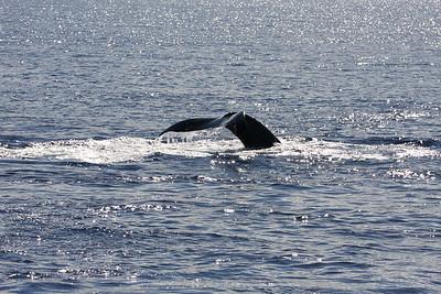 Nice shot of a calf performing a graceful flukes-up dive.  10 January 2015 -- Ma'alaea Bay, Maui