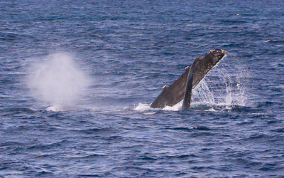 "This female (?) Humpback whale has rolled over onto her right side, exposing the tip of her left fluke (barely visible at the surface) and her very long (4 m) pectoral fin, which she waves gently as males in her competition pod struggle for a position to get closer to her. I've always thought that this ""pec wave"" is the cetacean equivalent of a ""Hey Sailor!"" greeting. Ma'alaea Bay, Maui -- 4 January 2015"