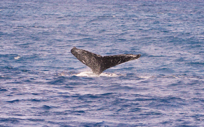 The flukes (tail) of this young Humpback whale are the last to leave the surface as it performs a flukes-up dive.  Ma'alaea Bay, Maui -- 4 January 2015