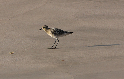 """A Pacific Golden Plover (Pluvialis fulva; """"Kōlea"""" in Hawaiian) forages along a beach, Kihei, south Maui. Kōlea eat a variety of items including insects, crustaceans, berries, leaves, and seeds. Kōlea can eat marine and freshwater invertebrates, too. It is interesting watching the shorebirds forage for food by a sequence of stop-run-stop! They will scan an area for food and then peck at it until it is captured. In Hawai'i, Kōlea feed on weevils, crustaceans and even snails."""