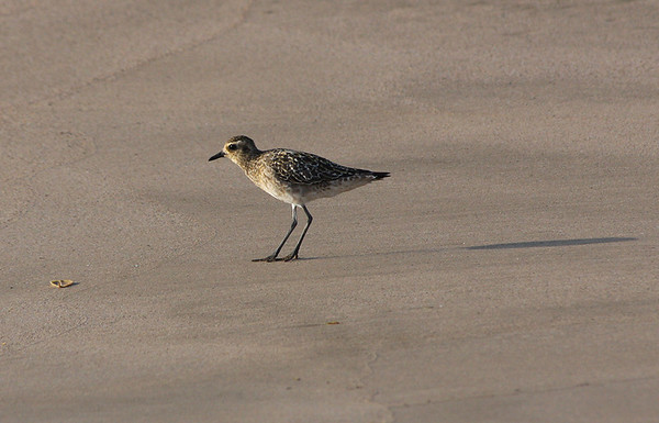 "A Pacific Golden Plover (Pluvialis fulva; ""Kōlea"" in Hawaiian) forages along a beach, Kihei, south Maui. Kōlea eat a variety of items including insects, crustaceans, berries, leaves, and seeds. Kōlea can eat marine and freshwater invertebrates, too. It is interesting watching the shorebirds forage for food by a sequence of stop-run-stop! They will scan an area for food and then peck at it until it is captured. In Hawai'i, Kōlea feed on weevils, crustaceans and even snails."
