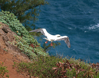 A Red-Footed Booby (Sula sula rubripes) launches herself from atop one of the steep basalt cliffs adjacent to Kilauea Point, north Kaua'i.