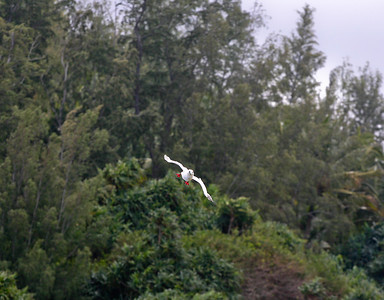 A Red-Footed Booby (Sula sula rubripes) glides on the updrafts created by the steep basalt cliffs of the cove adjacent to Kilauea Point, north Kaua'i. The boobies at Kīlauea Point are a white color morph. Adult birds have a white body and tail plumage. Upper wings have black primary and greater secondary coverts. This species is seen year-round at Kilauea Point. Approximately 1,400 to 2,500 pairs nest at the refuge annually. Feeds by diving vertically into the water (rarely within the sight of land). May dive up to 10 meters to pursue prey, which is primarily flying fish and squid.