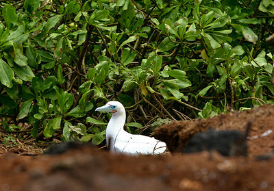 A Red-Footed Booby (Sula sula rubripes) roosting in a clearing at Kilauea Point National Wildlife Refuge, north Kaua'i.