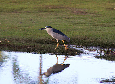 A Black-crowned Night Heron (Nycticorax nycticorax) hunting insects in a deep puddle after a heavy rain. Kihei, south Maui.