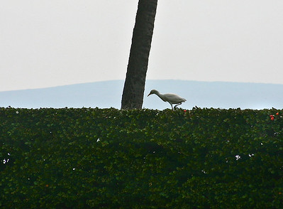 Cattle Egret (Bulbulcus ibis) foraging for insects on top of hedge, Wailea, south Maui. The Cattle Egret (Bubulcus ibis) is a cosmopolitan species of heron (family Ardeidae) found in the tropics, subtropics and warm temperate zones. It is a stocky white bird adorned with buff plumes in the breeding season which nests in colonies, usually near bodies of water and often with other wading birds. Unlike most other herons, it feeds in relatively dry grassy habitats, often accompanying cattle or other large mammals, since it catches insect and small vertebrate prey disturbed by these animals. Some populations of the Cattle Egret are migratory and others show post-breeding dispersal.