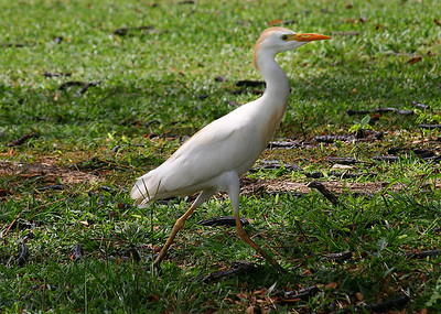 A Cattle Egret (Bulbulcus ibis), foraging on the freshly watered lawn of a golf course, Kihei, south Maui. This is a cosmopolitan species of heron (family Ardeidae) found in the tropics, subtropics and warm temperate zones. It is a stocky white bird adorned with buff plumes in the breeding season which nests in colonies, usually near bodies of water and often with other wading birds. Unlike most other herons, it feeds in relatively dry grassy habitats, often accompanying cattle or other large mammals, since it catches insect and small vertebrate prey disturbed by these animals. Some populations of the Cattle Egret are migratory and others show post-breeding dispersal.