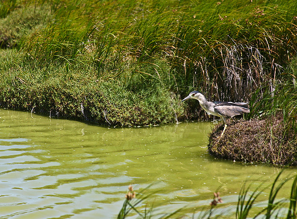 Sensing the time is right to nab his fish, the bird begins his push-off from the bank.  A Black-Crowned Night Heron (Nycticorax nycticorax) stalking fish along the shoreline at Kanaha Pond State Wildlife Sanctuary (Kahului, Maui).
