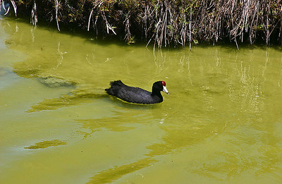 """The endangered Hawaiian Coot (Fulica alai) at Kanaha Pond State Wildlife Sanctuary (Kahului, Maui). Note the red """"knob"""" just above his beak. These birds are indigenous to the Hawaiian Islands, but are considered to be endangered due to loss of habitat. Recent population surveys indicate that the Hawaiian Coot is making a modest comeback on O'ahu and Maui, the islands that support the bulk of the birds numbers."""