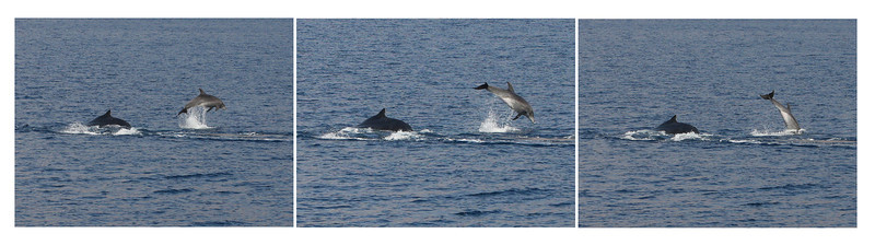 This sequential photo shows a Pacific Bottlenose Dolphin breaching as a Humpback whale calf (visible to left of dolphin) and its mother (submerged, behind the calf and just under the dolphin) pass beneath it.   8 March 2013