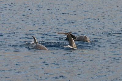 Tursiops truncatus, Common Bottlenose Dolphins. 8 March 2013