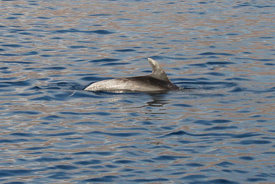 Tursiops truncatus, Common Bottlenose Dolphin. 8 March 2013