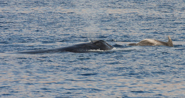 A Humpback Whale and a Bottlenose Dolphin cruising the bay waters side-by-side. 8 March 2013