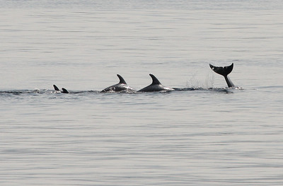 Tursiops truncatus, Common Bottlenose Dolphins. 8 March 2013