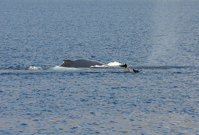 A Humpback Whale and a pair of Bottlenose Dolphins cruise the bay's waters side-by-side. 8 March 2013