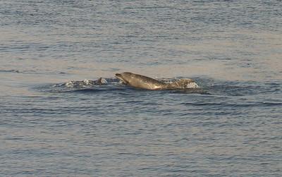Tursiops truncatus, Common Bottlenose Dolphin. 8 March 2013