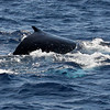 A Humpback whale calf rides the gentle swells, the light turquoise blue-white of one of its pectoral fins just visible below the surface. <br /> <br /> 8 February 2014