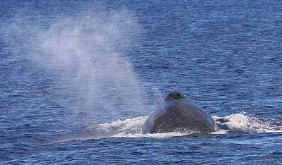 "The mist of a whale's ""blow"" lingers more than 15 feet in the air above its head. 8 February 2013"