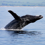 Humpback Whales of Maui : Photos in this gallery are grouped by the different types of whale behavior. All of the images are from whale-watching cruises with the Pacific Whale Foundation that sailed out of Ma'alaea Harbor on the Island of Maui. Each year I go on about 40 cruises on the waters of Ma'alaea Bay and the Kealaikahiki Channel between Maui and the Island of Kaho'olawe.