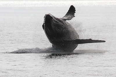 A large mature Humpback performs a nice sideways breach, showing off its ventral pleats (linear grooves on its underside). 20 February 2011.