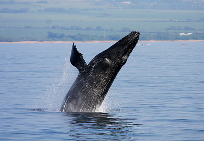 A Humpback performs a rolling breach. Its left eye is clearly visible on the prominent bump just above and to the right of the base of its left pectoral fin. 13 February 2011