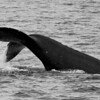A young Humpback races alongside my boat, performing shallow, energetic flukes-up dives as it goes.<br /> <br /> 2 March 2014