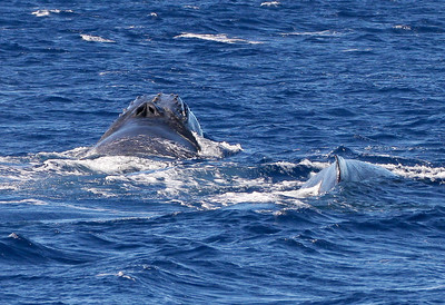 Two members of a particularly energetic surface-active competition pod charging through deeper water of the channel between Maui and the island of Kaho'iawe.  15 February 2013