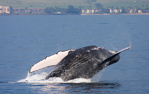 A Humpback rolls over onto its back, completing a near-360-degree rolling breach.  13 February 2011