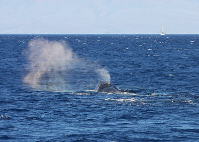 As this whale's blow is completed, it's easy to see steam exiting just the right blowhole.   15 February 2013