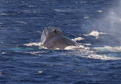 A male participant in a surface-active competition pod thrusts its head above water to intimidate other males in the pod.  15 February 2013