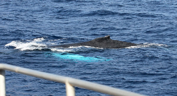 A female Humpback whale mobbing my boat displays one of her two 15-foot-long pectoral fins (seen as a turquoise-colored shadow just below the surface). At a third of the whale's overall length, the Humpback's pectoral fins are the longest in the animal kingdom.  5 January 2014