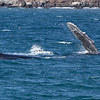 Rolled over onto her (?) right side at the surface, a Humpback whale being escorted by two others lazily waves a huge pectoral fin above the surface, possibly signalling that she is receptive to the sexual advances of her male escorts.<br /> <br /> 25 Jan 2014