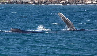 Rolled over onto her (?) right side at the surface, a Humpback whale being escorted by two others lazily waves a huge pectoral fin above the surface, possibly signalling that she is receptive to the sexual advances of her male escorts.  25 Jan 2014