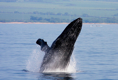 A Humpback performs a spectacular rolling breach as the crew of a six-man canoe (upper right, background) looks on from a safe distance.   13 February 2011